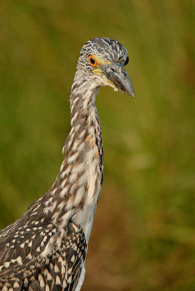 Yellow-crowned Night Heron (Immature)