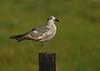 Laughing Gull (Immature)