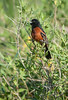 Orchard Oriole (adult male)
