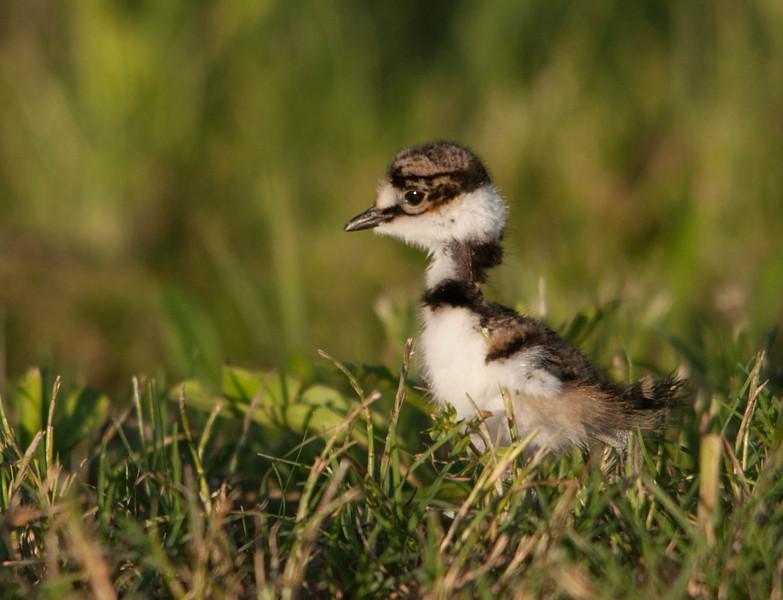 Killdeer (Juvenile)