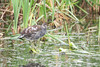 Common Gallinule (Pied Plumage)
