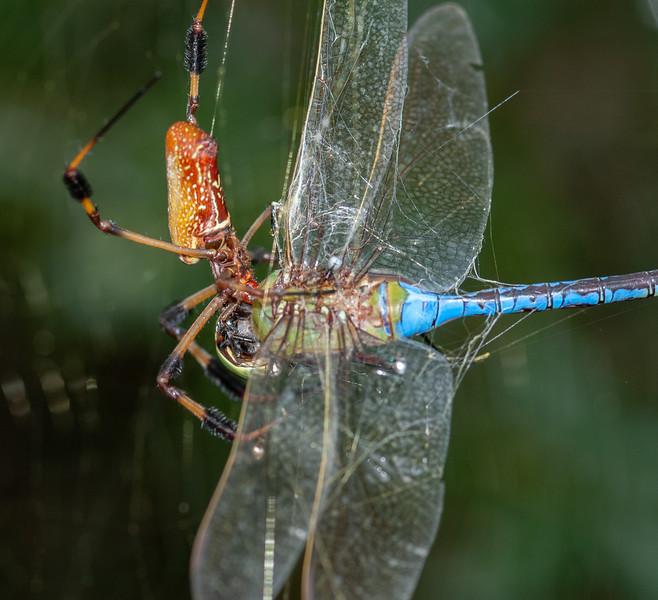 Golden Orb Weaver eating a Dragonfly