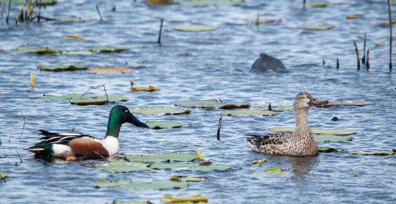 Northern Shovelers (Male on Left-Female on Right)