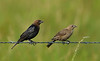 Brown-headed Cowbird (Male on Left, Female on Right)