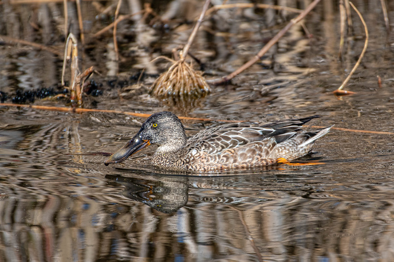 Northern Shoveler (Immature Male)