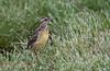 Eastern Meadowlark (IMmature)