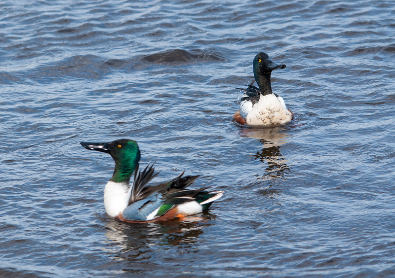 Male Northern Shovelers bobbing their heads up and down in courtship display.