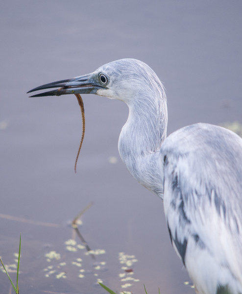Little Blue Heron (Immature) with Pipefish