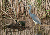 Tricolored Heron & Red-eared Slider