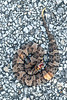 Western Cottonmouth (Juvenile)