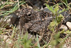 Common Nighthawk (Juvenile)