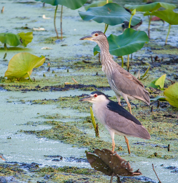 Black-crowned Night Herons (adult in foreground, juvenile in background)