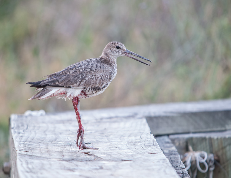 Willet with injured leg