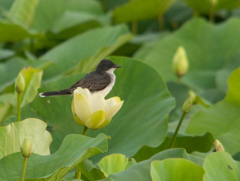 Eastern Kingbird on Yellow Lotus