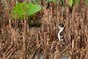 Black-necked Stilt on Nest