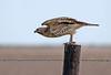 Broad-winged Hawk (Immature)