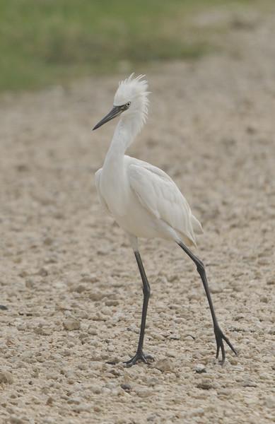 Reddish Egret (Immature) White Morph
