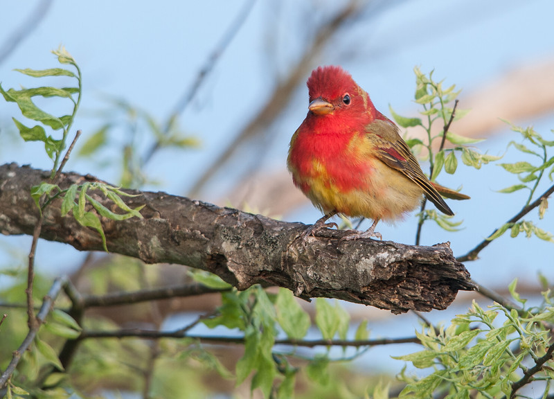 Summer Tanager (Immature male transitioning into adult plumage)