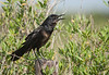 Boat-tailed Grackle (Maturing Male)