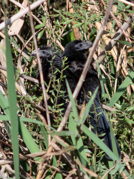 Groove-billed Ani Pair