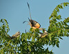 Scissor-tailed Flycatchers
