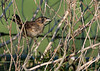 Seaside Sparrow (immature)
