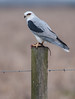 White-tailed Kite eating a Cotton Rat