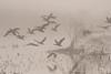 Black-bellied Whistling Ducks flying in the Fog