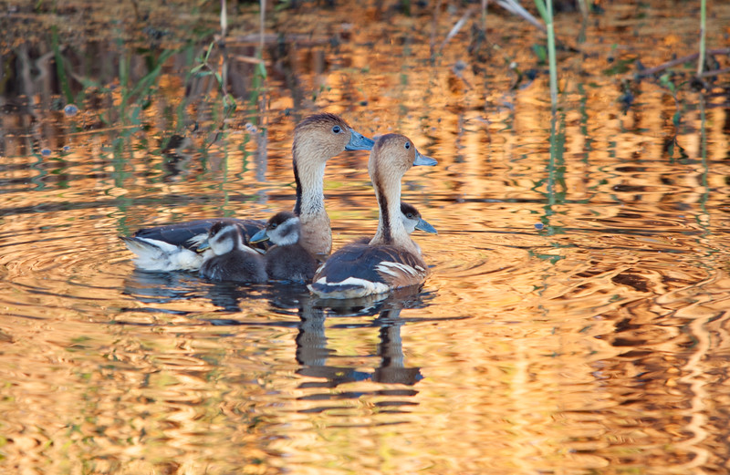 Fulvous Whistling Duck Family