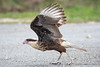Crested Caracara (Immature)