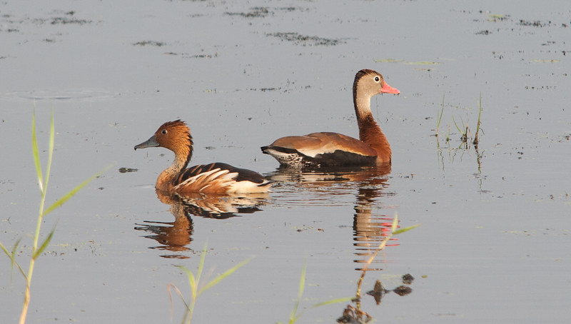 Fulvous Whistling Duck (left) Black-bellied Whistling Duck (right)