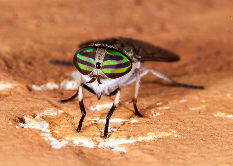 Horse Fly (Female)