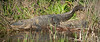American Alligator with hatchlings