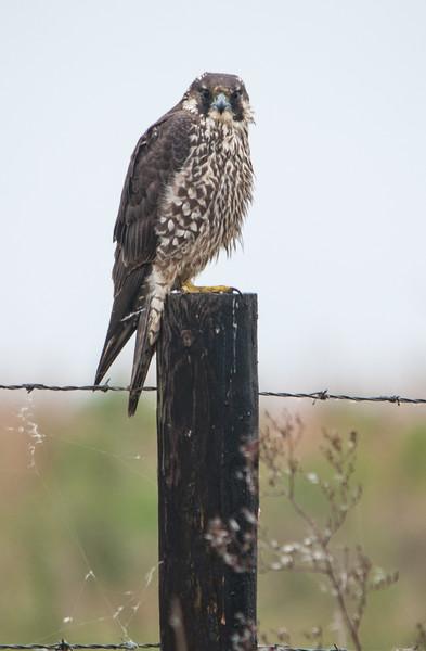 Peregrine Falcon as light rain started to fall
