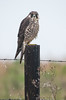 Peregrine Falcon as light rain started to fall