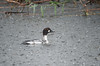 Common Goldeneye (Immature)