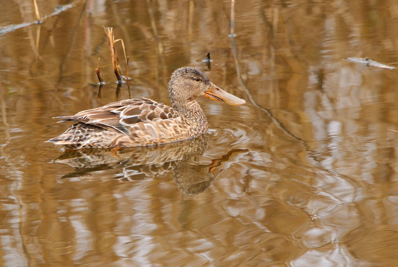 Northern Shoveler Pond (Female)