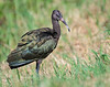 White-faced Ibis (Juvenile)