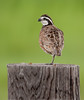 Northern Bobwhite (Male)