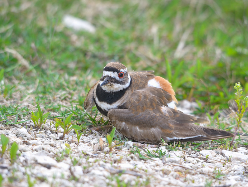 Killdeer feigning injury to distract from her nest.