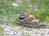 Killdeer feigning injury to draw me away from the nest.