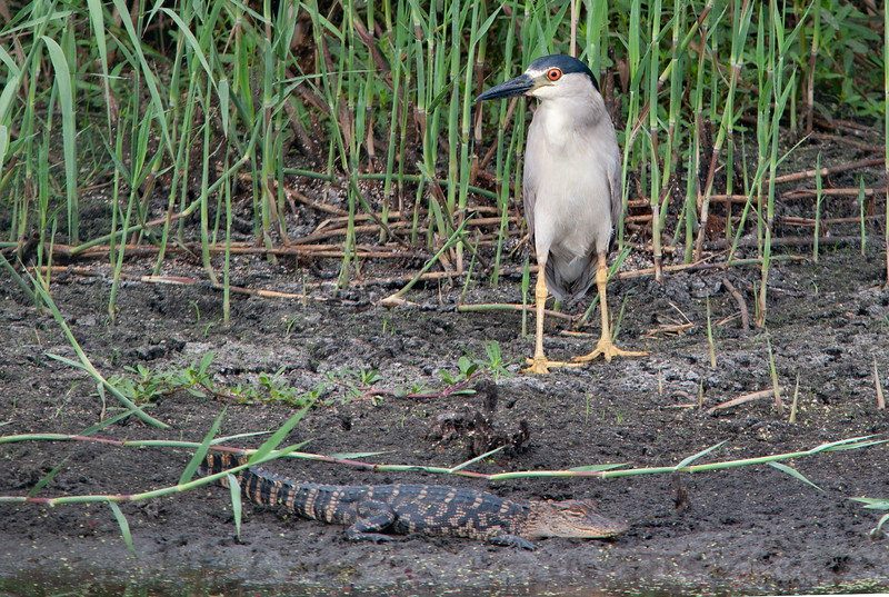 Black-crowned Night Heron & American Alligator