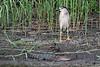 Black-crowned Night Heron & American Alligator
