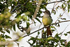 Ash-throated Flycatcher ????