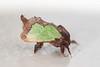 Spiny Oakslug Moth