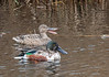 Northern Shovelers (Male and Female)