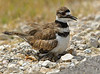 Killdeer with Hatchling