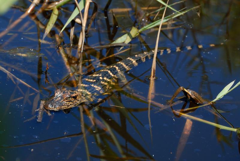 American Alligator (Hatchling)