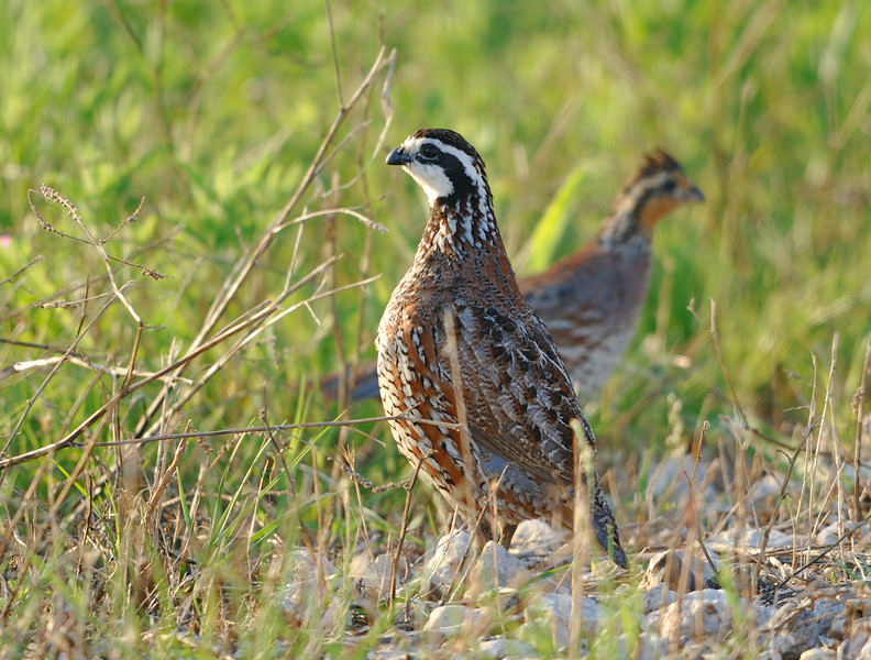 Northern Bobwhites (male in foreground, female in background)