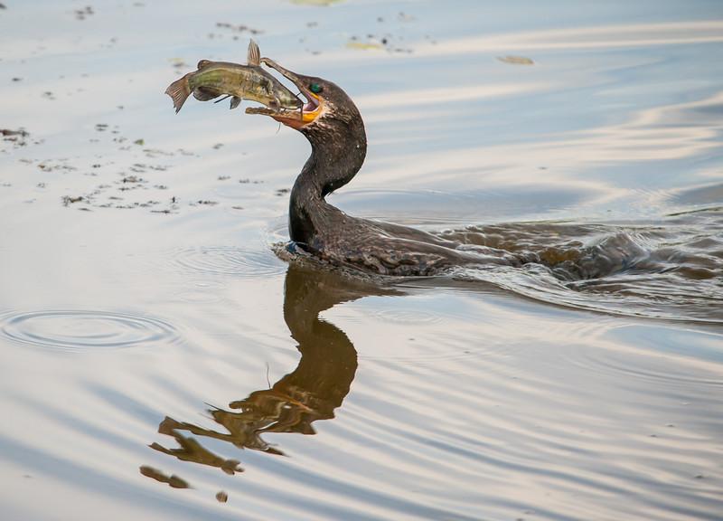 Neotropic Cormorant with Catfish